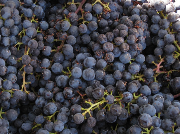 winegrapes