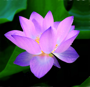 Lotuses are often used as symbolic representations of karm